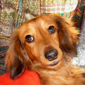portrait image of Tatiana The Dog, a dachshund
